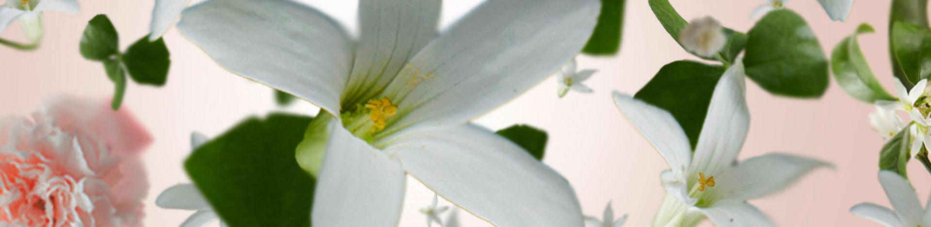 Flores de Jazmín aroma floral