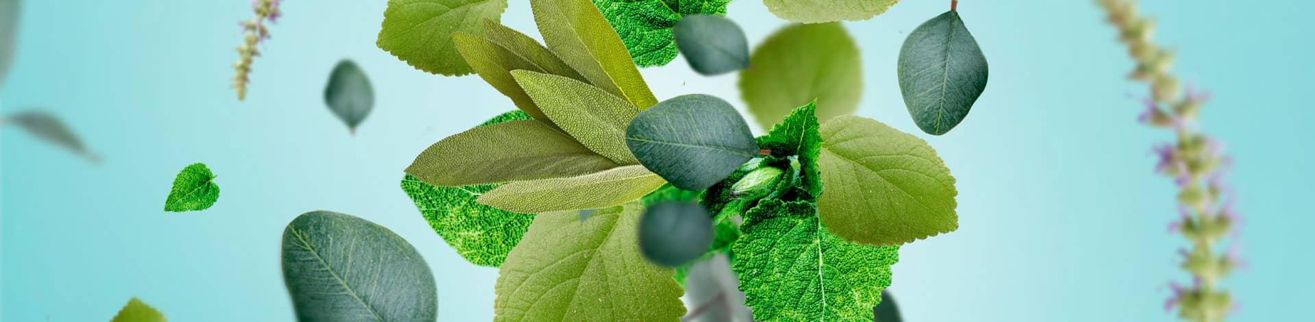 Hojas de Eucalipto frescor aroma fresco
