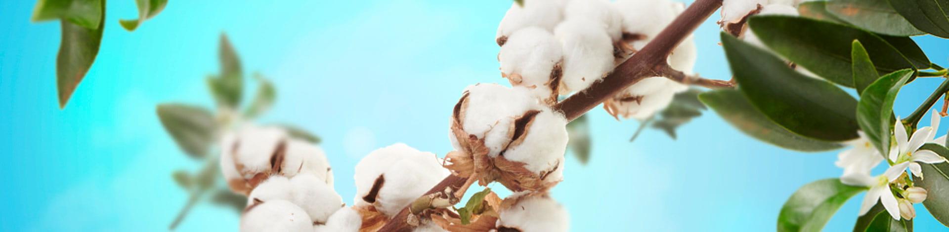 Planta de algodón - aroma fresco